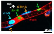 「生体イメージング」による各種細胞動態の特異的可視化(単一血小板が明瞭にとらえられている)
