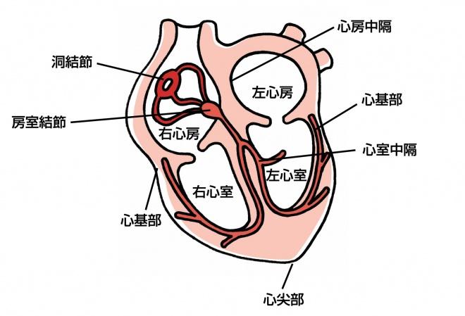 心臓の断面イメージ