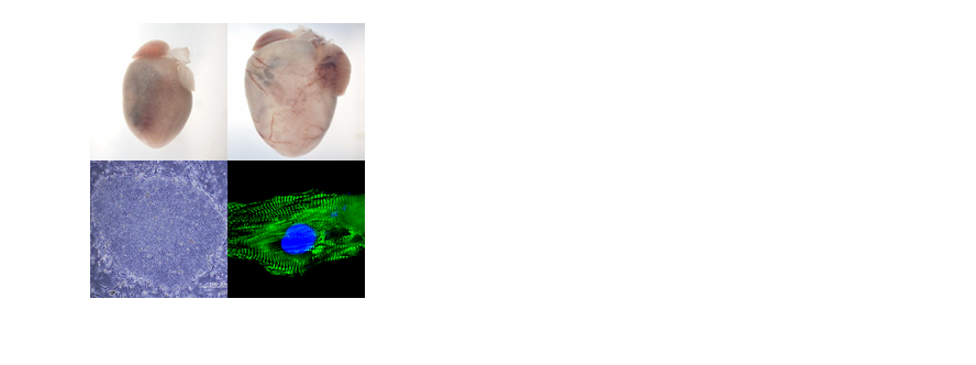 心血管分子細胞生物学グループ 詳細へ